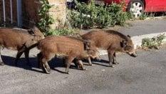 """Dopo i gabbiani pure i cinghiali piombano in città a caccia di cibo. L'esperto: """"Colpa di siccità e rifiuti"""""""